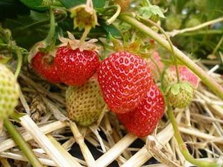 イチゴの冬越し方法と早春の作業は?
