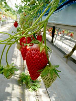 Strawberry (14).jpg