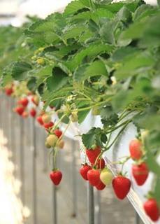 イチゴの育て方|毎年小株を更新し鈴なりを収穫!