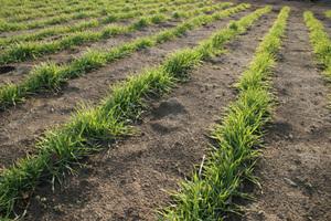 小麦の栽培|麦踏みで丈夫な小麦を育てる!