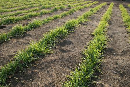 Wheat (1).jpg