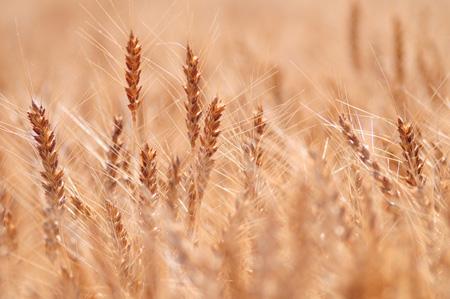 Wheat (3).jpg