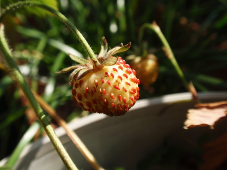 Wild Strawberry2.jpg