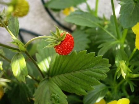 Wild Strawberry (4).jpg
