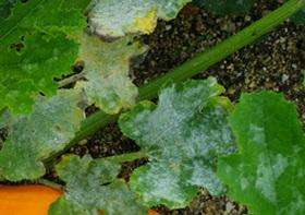 Zucchin (1).jpg