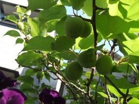 アンズの育て方 庭植え