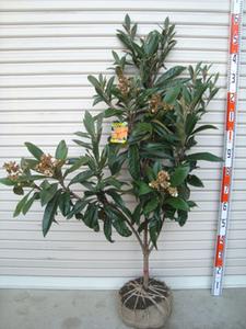 ビワの育て方 鉢植え|主枝を横に誘引し低く栽培