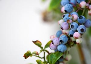 ブルーベリーの育て方 庭植え|ピートモスで土壌改良します