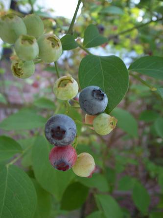 blueberry (1).jpg