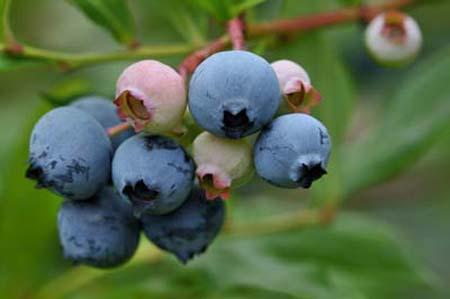 blueberrynew.jpg