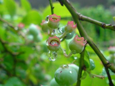 blueberrynew (6).jpg