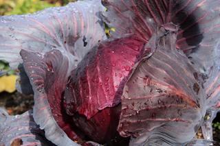 キャベツのプランター栽培|肥料切れ水切れに注意した育て方を
