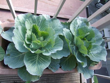 cabbage20(9)-cc897.JPG