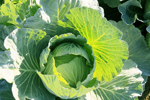 10月の野菜栽培|生長し太る時期 肥料切れに注意!