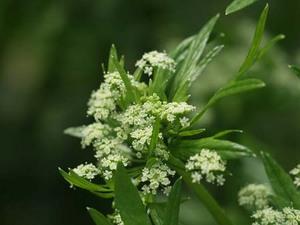 セロリとは?|自家栽培で食感や香りを楽める