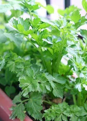 celery20(1)-f3115.jpg