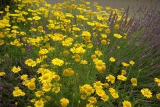 カモミールの育て方|夏の直射日光が当たらない場所で栽培