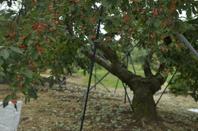 cherry (1).jpg