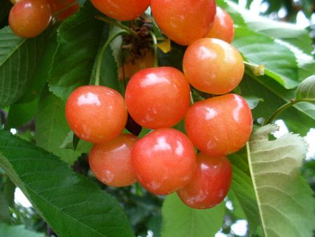 cherry (3).jpg
