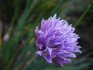 チャイブの育て方|香りが穏やかなネギ類の万能薬味!