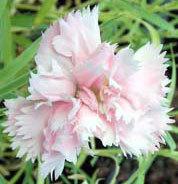 クローブピンクの育て方|カーネーションの原種で美しい