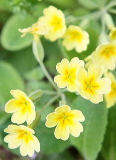 カウスリップの育て方|耐寒性強、乾燥気味に栽培します
