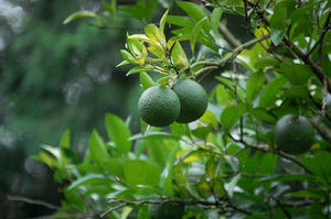 橙|利用範囲の広い果樹です