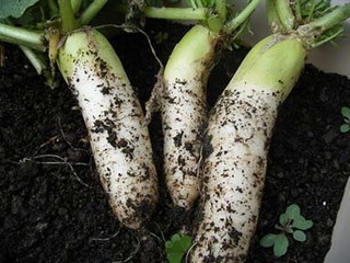ダイコンのプランター栽培のコツ|青首総太りの短根種が最適