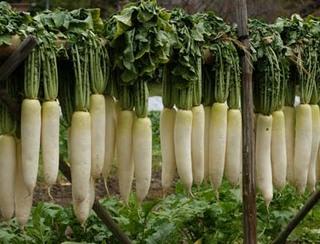 ダイコンの育て方|良い用土作りがおいしさをアップ!