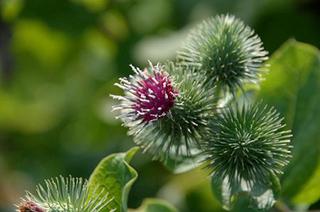 ゴボウの育て方|短根種なら家庭菜園でも簡単栽培