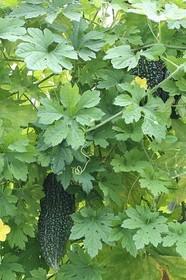 ゴーヤーのプランター栽培|若どりで長期間おいしく収穫!