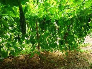ニガウリ(ゴーヤ)をたくさん収穫できる育て方は?
