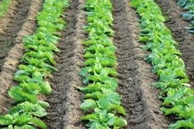 ハクサイの育て方|外葉と結球を大きく栽培します