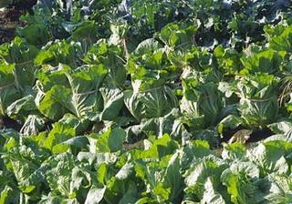 ハクサイの収穫と保存方法