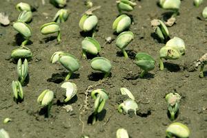 有機栽培 苗作り