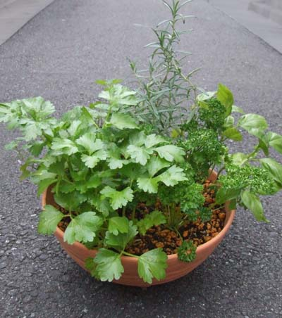 herb-yoseue (2).JPG