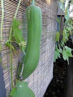 ヘチマの育て方|緑のカーテン、化粧水、浴用たわしに