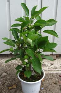 ヒメリンゴの育て方 鉢植え|水不足に注意します