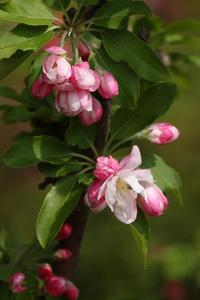 ヒメリンゴの育て方 庭植え|通気性と排水性の良い場所に
