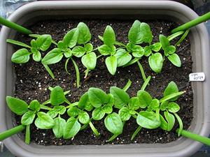 ホウレンソウとは?|ビタミンやミネラル豊富な緑色野菜