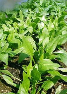 ホウレンソウの発芽がそろわず、生長がまばらな理由は?