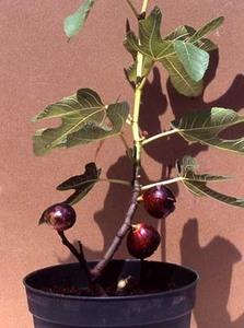イチジクの育て方 鉢植え|強風や水切れに注意します