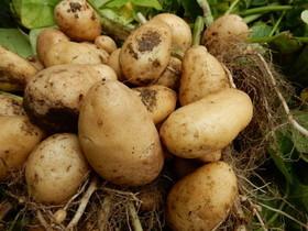 ジャガイモの肥料は?