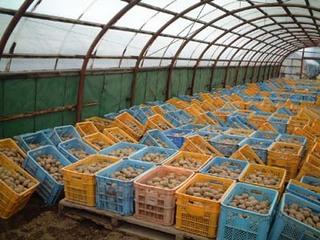 浴光催芽|ジャガイモの植え付け遅れの対処法