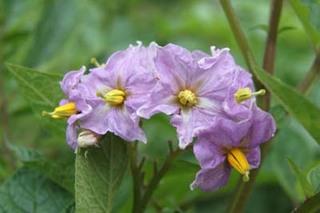 ジャガイモのプランター栽培|ウイルス病予防のためにタネイモを使用