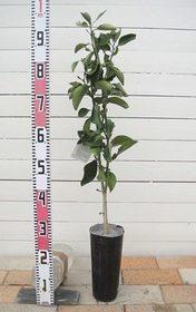 カボス 庭植えの育て方