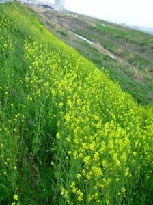 カラシナの栽培|とう立ちしたら菜花で利用