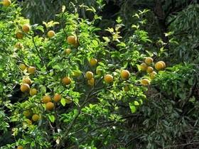 カラタチ 庭植えの育て方