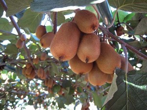 キウイフルーツ 追熟のコツ