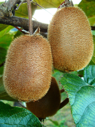 kiwifruit1.jpg